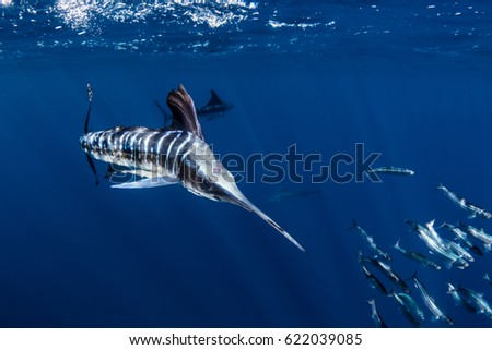 Striped Marlin hunting sardines off the coast of Mexico