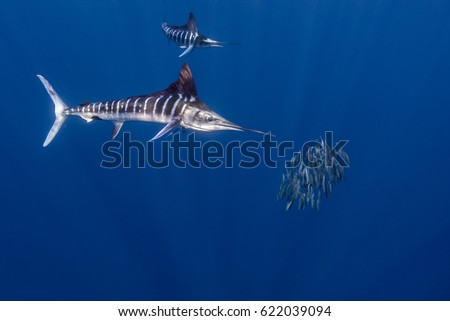 Striped Marlin hunting sardines off the coast of Mexico #622039094