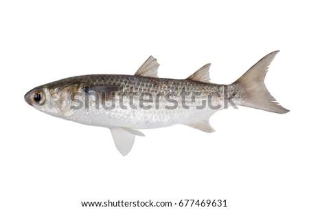 Striped mullet (Mugil cephalus) isolated on white background #677469631