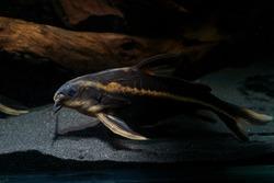 Striped Raphael catfish (Platydoras armatulus) swimming in the bottom of aquarium