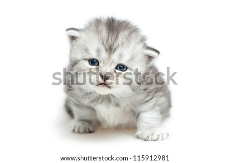 Striped Scottish kitten  isolated on white