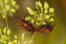 Striped Shield Bug  in the garden, mating. Minstrel bug or  Graphosoma lineatum.