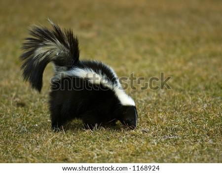 Striped Skunk (Mephitis mephitis) Sniffs in the grass