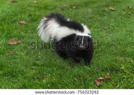 Striped Skunk (Mephitis mephitis) Walks Forward - captive animal #756323242