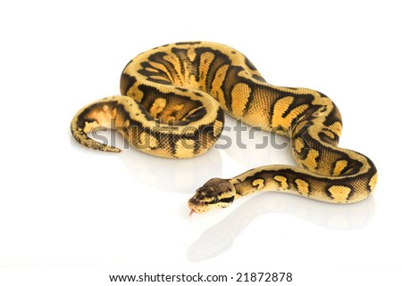striped super pastel Ball Python (Python regius) on white background.