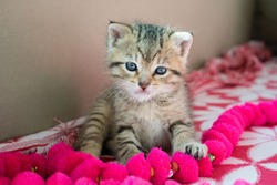 Striped tiger kitten on the blanket, 3 weeks cute small kitty with blue eyes