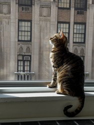 Striped toyger cat sitting on window sill staring at the sun from inside apartment building