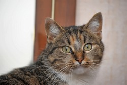 striped with red and white european shorthair cat
