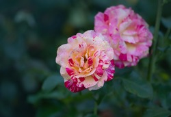 Striped yellow and red flower of rose. Striped hybrid tea rose. Striped pink yellow rose grown. Bicolor  yellow rose flower with pink stripes.