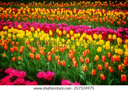 Stripes of multicolored   tulips flowerbed close up, retro toned