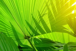 stripes of tropical palm leaves texture with sun rays, greenery background