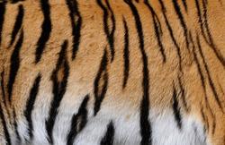 Stripes on skin of an Amur tiger (Panthera tigris altaica)