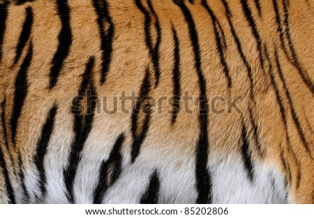 Stripes on skin of an Amur tiger (Panthera tigris altaica) - stock photo