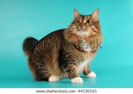 Stripped bobtail cat sits