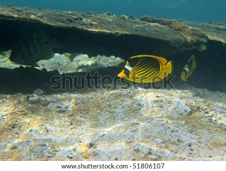Stripped butterflyfishes in the ship wreck