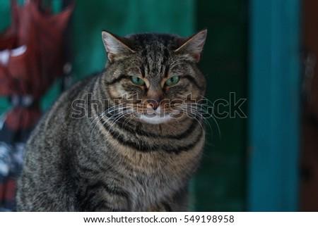 Fat Angry Grey Tiger Cat Images And Stock Photos Avopixcom