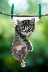 Stripy little kitten inside a stocking hanging on the rope looking straight