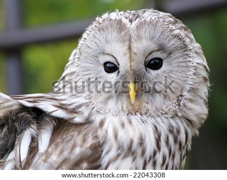 strix uralensis ural owl - stock photo