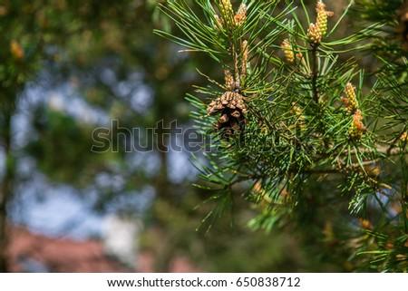 Strobilus on the tree #650838712