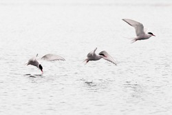 Stroboscopic study of Arctic Tern, Sterna paradisaea, picking up insect from water surface in full speed flight