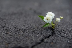 Strong and beautiful flower growing resiliently out of crack in dark asphalt