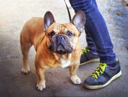 strong and healthy young french bulldog mail with the master walk in the park