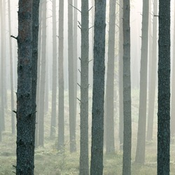 Strong beautiful fog in the forest