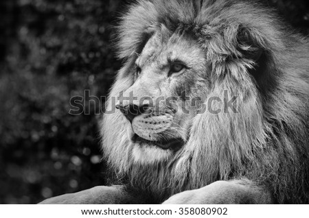 Strong contrast black and white of a male lion in a kingly pose
