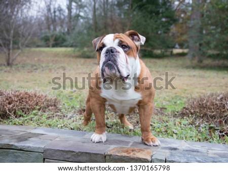 Strong English Bulldog #1370165798