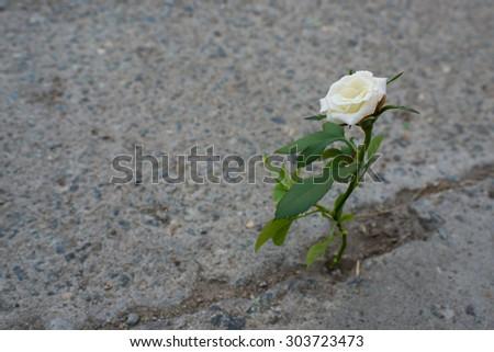strong flower grown in the asphalt , motivation, commitment , strength