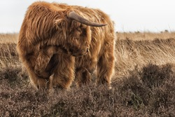 Strong Highland Cow with long horns