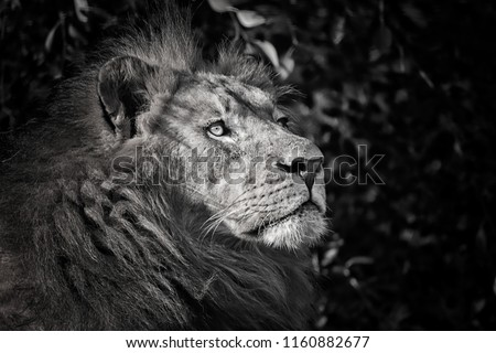 Strong lion in black and white colours. Detail portrait lion in black and white colour. Close-up lion. Photo of the animal world. #1160882677
