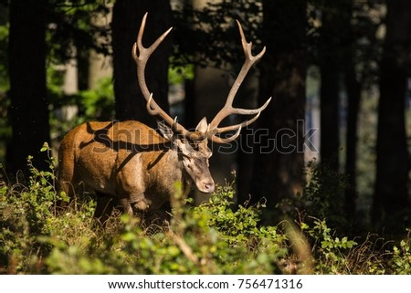 Strong roaring red deer in the forest #756471316