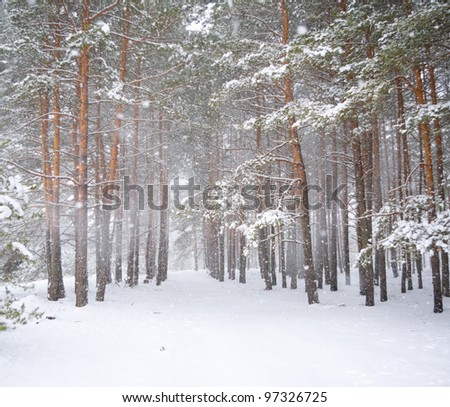 Strong snowstorm in a pine forest