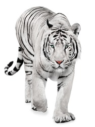 Strong white tiger walking, isolated on white background