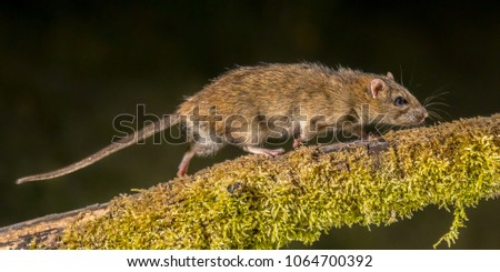 Strong Wild Brown rat (Rattus norvegicus) turning on log at night. High speed photography image