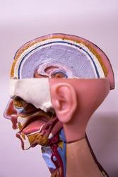 Structure of human body, brain, cerebrum, cerebellum, liver brain, brain stem, skull, head, oral cavity, nasal cavity, larynx