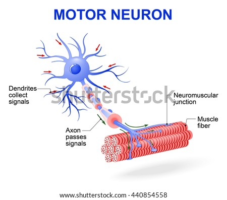 structure of motor neuron. Include dendrites, cell body with nucleus, axon, myelin sheath, nodes of Ranvier and motor end plates. The impulses are transmitted through the motor neuron in one direction