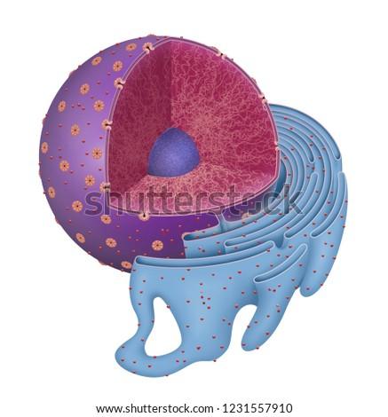 Structure of Nucleus and Rough endoplasmic reticulum. Stock photo ©