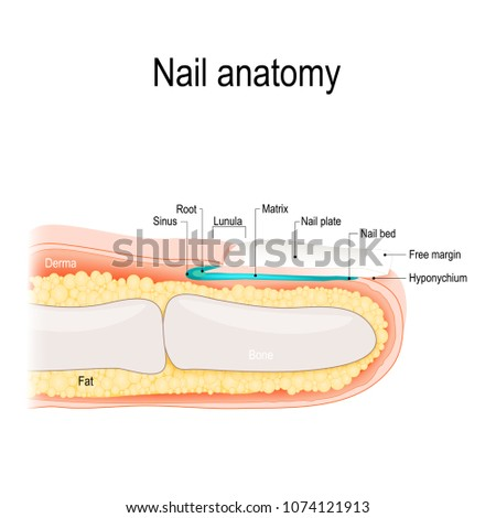Structure Of The Nail Human Anatomy Ez Canvas