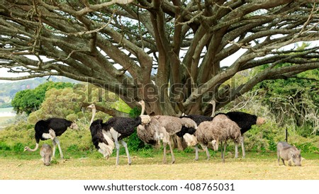 Shutterstock Struthio camelus - The ostrich or common ostrich is either one or two species of large flightless birds native to Africa, the only living member of the genus Struthio, which is in the ratite family.