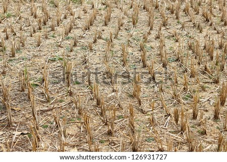 stubble rice after Harvest
