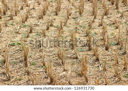 stubble rice after Harvest