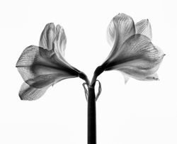 Studio Close Up of Amaryllis in Black and White