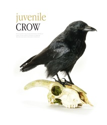 Studio image of a juvenile Crow (Corvus corone) perched on a goat's skull  against a white background. Copy space.