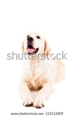 Studio photo of a baby golden retriever, isolated over a white background