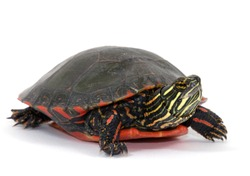 Studio photograph of a Midland Painted Turtle from a midwestern wetland isolated against a white background.