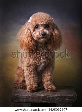 Studio Picture of Mini Poodle