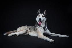 Studio portrait blue eyes pedigreed breed canine siberian husky black background dog face