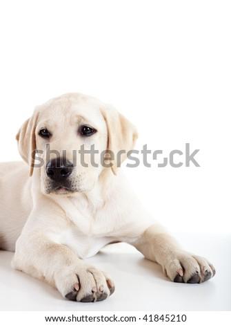 labrador gestation period calendar labrador retriever